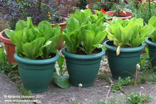 Lettuces grown in pots