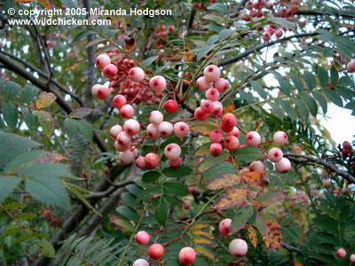 Sorbus vilmorinii for Garden plant information