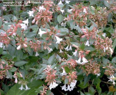 http://www.wildchicken.com/nature/garden/abelia_x_grandiflora.jpg