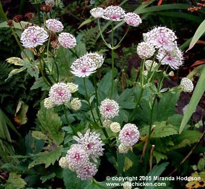 Astrantia major for Garden plant information