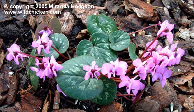 Cyclamen coum for Garden plant information