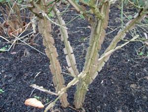 Euonymus alatus for Garden plant information