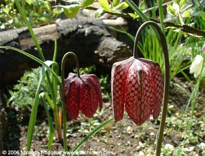 Fritillaria meleagris for Garden plant information