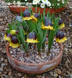 Fritillaria michailovskyi for Garden plant information
