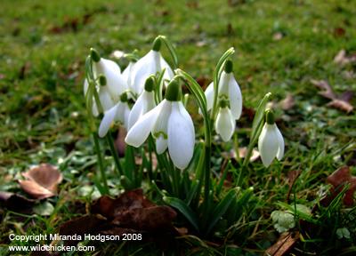 Galanthus nivalis for Garden plant information