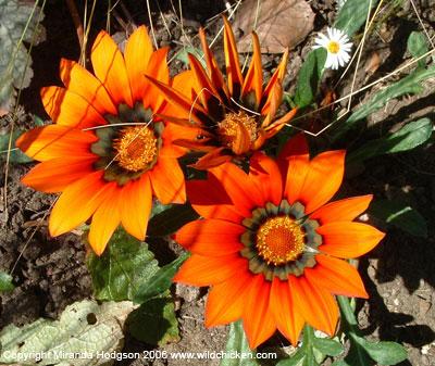 Gazania 39 sunkiss 39 for Garden plant information