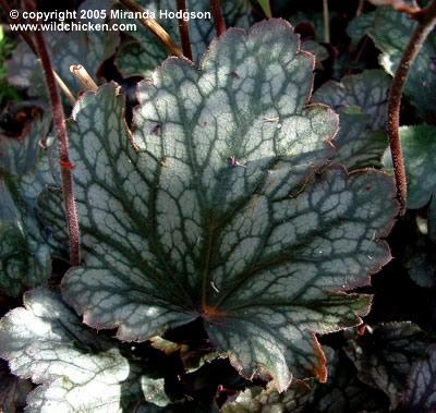Heuchera sanguinea geisha s fan for Garden plant information