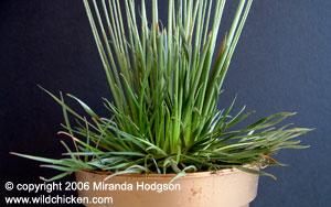 Syngonanthus chrysanthus 39 mikado 39 for Garden plant information