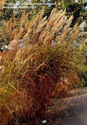 Miscanthus sinensis 39 silberfeder 39 for Garden plant information