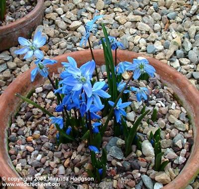 Scilla sibirica 39 spring beauty 39 for Garden plant information