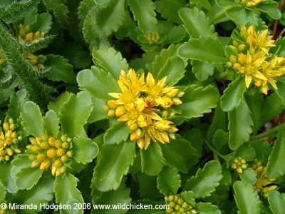 Sedum spurium green mantle sedum spurium mightylinksfo