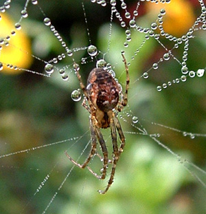 Wildlife gardening spiders for What does a garden spider look like