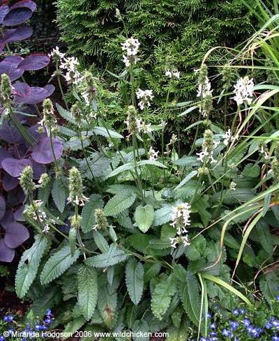 Stachys officinalis image for Garden plant information